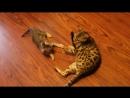 Кошка воспитывает котенка