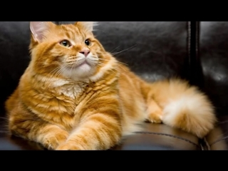 Каждый день рыжий кот выпрашивал мясо и куда-то уносил. И вот продавщица узнала