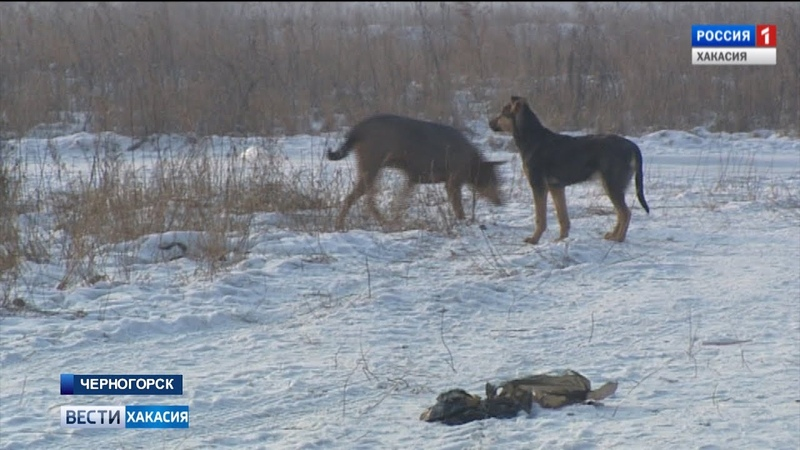 По факту нападений собак в Черногорске возбуждено уголовное делою.17.01.2019