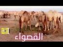 القصواء ناقة رسول الله صلى الله عليه وسلم - الأستاذ عبد الرحمن النزّاوي