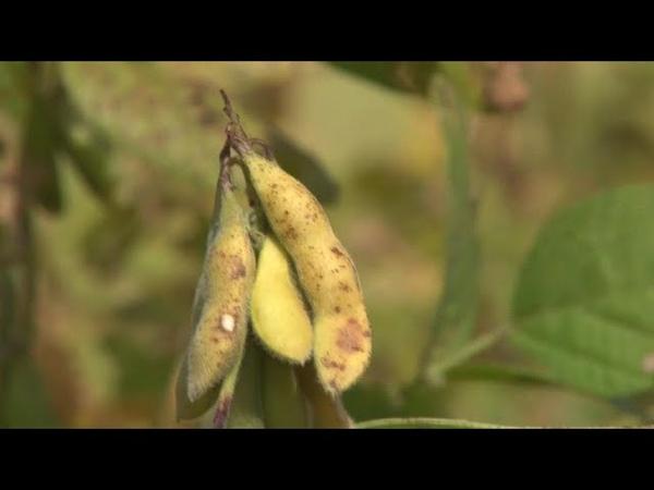 Soja, la déforestation dans nos assiettes