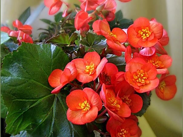 Бегония вечноцветущая Порой разнообразие садовых бегоний поражает даже опытных цветоводов. Они могут иметь практически любые размеры: от мелких до гигантских, напоминать по форме пион, розу,