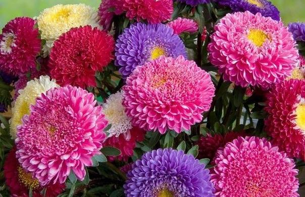 Астры Астры травянистые растения семейства сложноцветных. В культуре выращивают свыше 230 декоративных видов. Астры бывают многолетними и однолетними, соцветия всех видов представляют собой