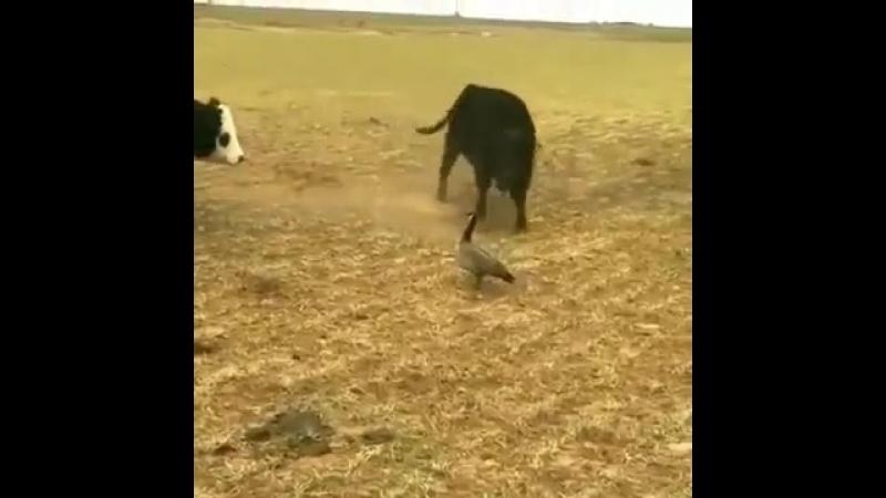 Деревенская утка строи быков 😎 вот это мужество !! Людям бы такое.mp4