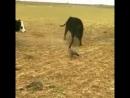 Деревенская утка строи быков 😎 вот это мужество Людям бы такое mp4