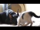 Котенок играет с доберманом