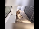 СУРДАН КАРАШ ИЗМИР (1 год, г.Москва) - видео от владельцев