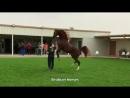 Арабские лошади (1в)