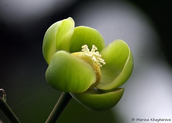 Фрукт Денген (Dillenia Serrata) Фрукт Денген выглядит как апельсин и содержит одно твердое семя. Растение произрастает в северо-восточной части Южного Сулавеси, Центральной части Сулавеси и