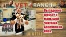 Выпадение шерсти у малышей чихуахуа. Аллергия на блох.| Vet Ranch на русском | Regrow Some Hair