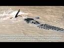 Crocodilo monstro é flagrado devorando tubarão em rio australiano