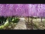 Гроздья цветов лилового цвета, растущих обычно у воды, колеблемые ветром, напоминают волны. Глици