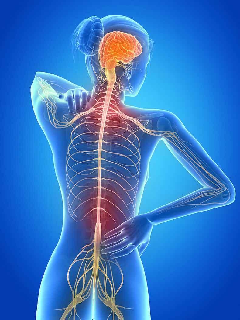 Блуждающий нерв контролирует некоторые скелетные мышцы, в том числе гортань.