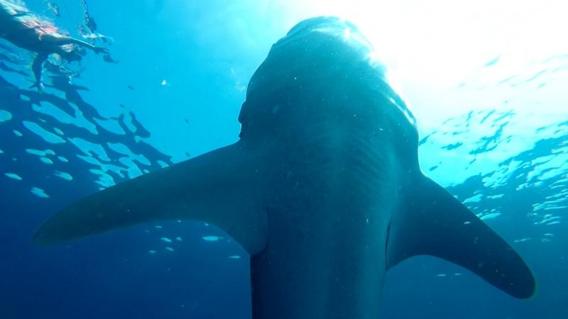 15 сентября 2018г Плаваем с китовой акулой