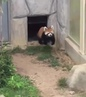 Red panda encounters stone