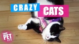Crazy Goofy Cats Try Not to Laugh Challenge