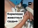 Зачем женщины вскармливают животных грудью?
