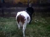 а вы не знали что коровы тоже служат в армии?)))