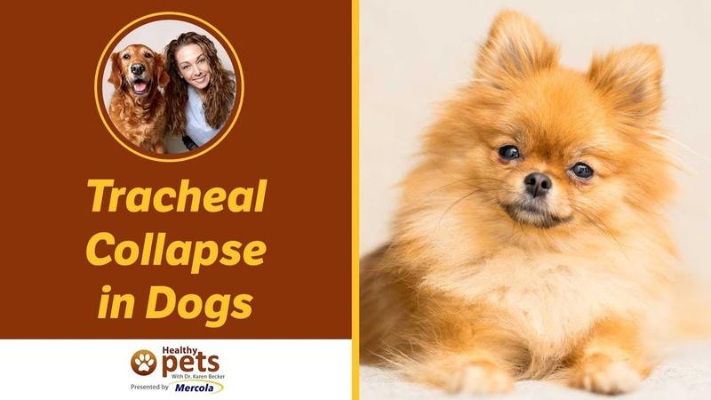 Коллапс трахеи у собак Tracheal Collapse in Dogs
