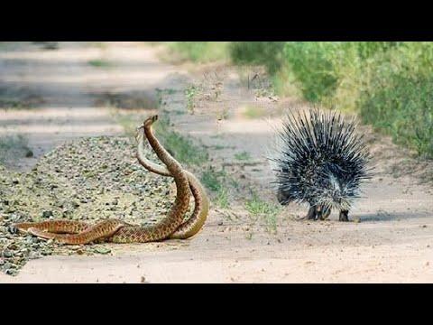 Đại chiến Nhím vs Snakes vs Eagle , Popcupin Attack : Snakes , leopard , Cobra too danger too fast
