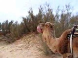 Camel in love