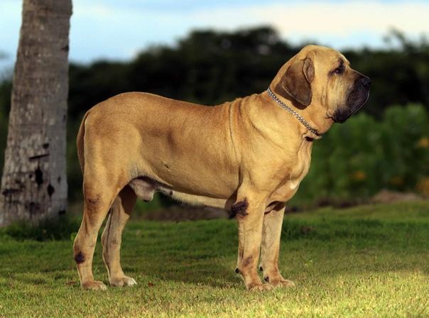 Самая опасная собака в мире
