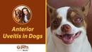 Передний увеит у собак / Anterior Uveitis in Dogs