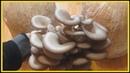 Супер способ выращивания грибов в домашних условиях