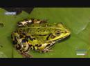 Біологи наполохані: у Чернігові на автошляхах масово гинуть…жаби