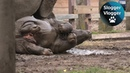 Baby Rhino And The Mud Puddle