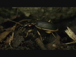 С миру по факту ЖУЖЕЛИЦА - убийца мурав... мангуста (720p)