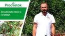 Зачем выращивать ГУМИ Особенности плодового кустарника