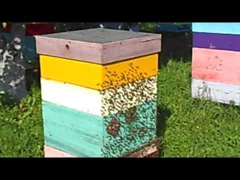 Пчелопакеты бакфаст карника пчеломатки плодные 2019 от племенных из Германии т 89603022455