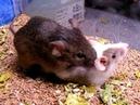 Mouse sex