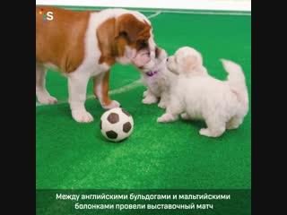 Щеночки играют в футбол