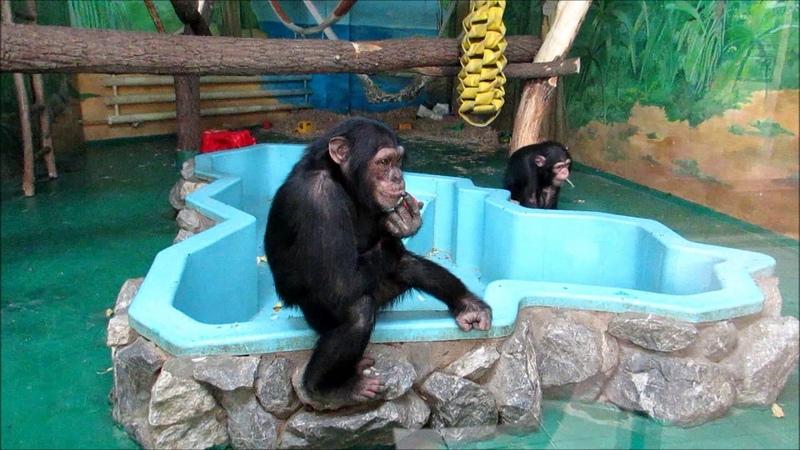 Шимпанзе Люся кушает яблоко а хулиган Филя стучит по стеклу 22 04 19