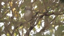 Whitehead Белоголовая мохуа Mohoua albicilla