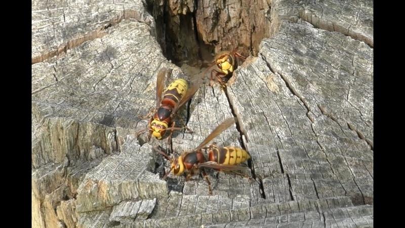 Новое гнездо шершней / new nest of hornets