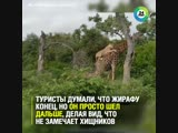 Львы хотели съесть жирафа, но он их просто измотал