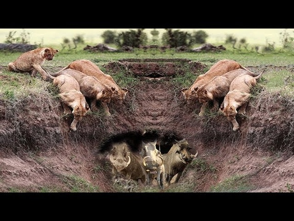 Harsh life of Wildlife 2018 Lion vs Warthog Let's Explore the Animal Planet 2019