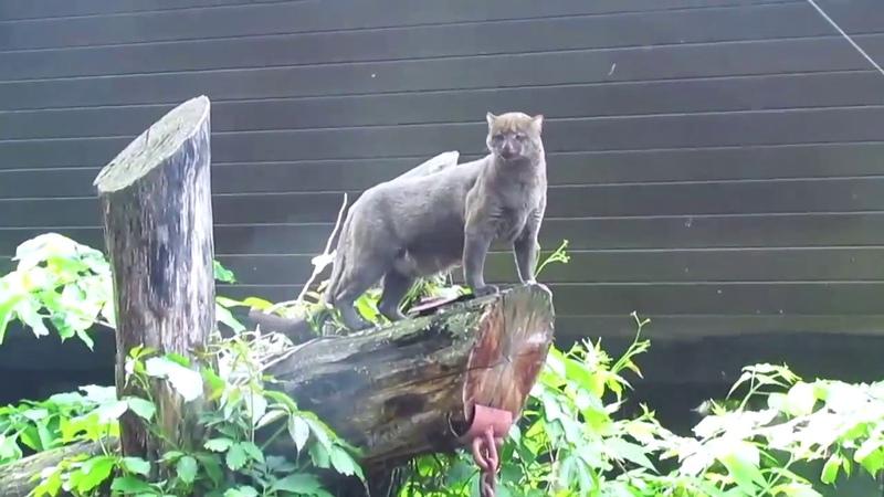 Ягуарунди-обитатель тропических лесов Латинской Америки