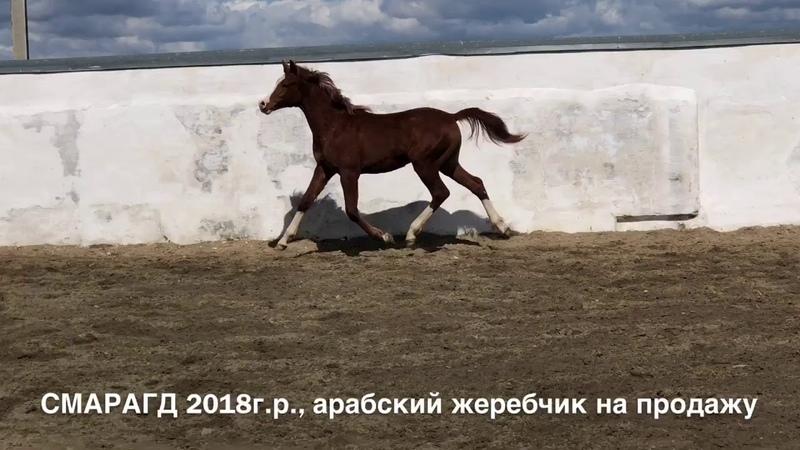 СМАРАГД 2018г.р., продажа арабского жеребчика тел., WhatsApp 79883400208