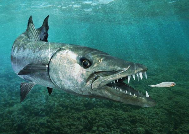 Какая бывает рыба Речные и морские рыбы В этой статье мы рассмотрим вопрос о том, какая бывает рыба. Следует уточнить сразу, что слово «рыба» в значении «блюдо» здесь обсуждаться не будет.