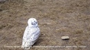 2019 05 19 Центр реалибитации диких птиц Халзан Совенок летает за инструктором