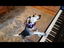 My name is Buddy Mercury!! Singing Piano Dog Sensation!!