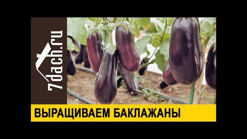 🍆 Выращиваем рассаду баклажанов знакомимся с гибридами от Партнёра 7 дач