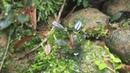 Bucephalandra and Its Natural Habitat - West Borneo