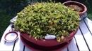 My venus flytrap Dionaea Muscipula incredible growth