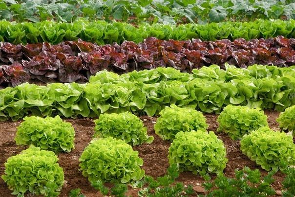 виды салата в наши дни известно большое количество разновидностей салата: кочанный и листовой, самых разнообразных форм и оттенков. и абсолютно все салаты хороши на вкус. - цикорный салат- имеет