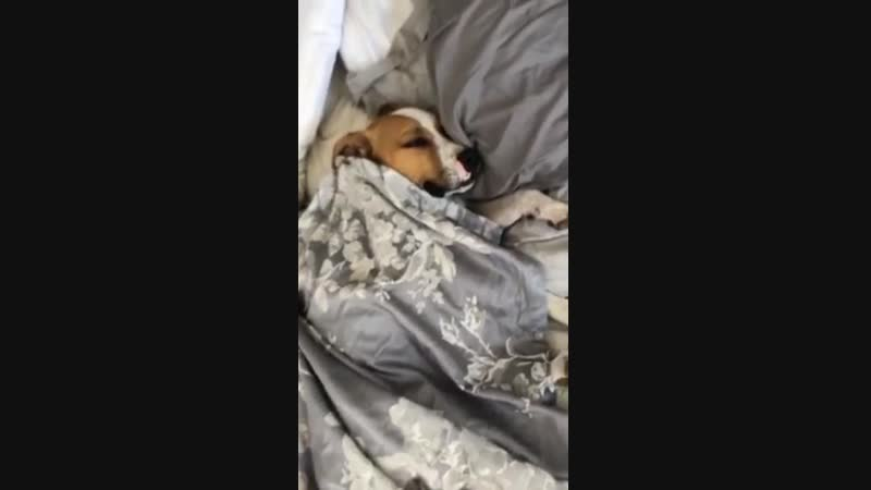 Dog tucked up in bed